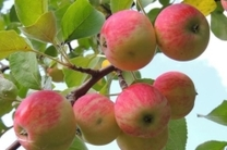 پیشبینی برداشت سیب پاییزه به حدود 215000 در استان اصفهان
