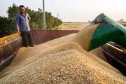 اختلاف 2 هزار تومانی هزینه های  تولید گندم با قیمت خرید تضمینی/ دولت باید 8 میلیون تن گندم وارد کند