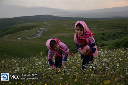 جشنواره گل های بابونه در منطقه فندقلو اردبیل