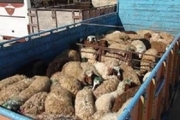 کشف و توقیف 16 راس دام قاچاق در شاهین شهر/ دستگیری یک نفر توسط نیروی انتظامی