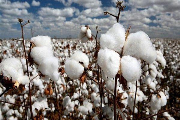 تولید بیش از ۳۵ هزار تن پنبه در کشور