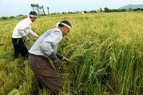 برداشت رسمی برنج مازندران طی روزهای آینده
