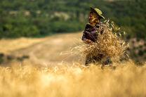 ۷۸۵ میلیارد تومان مطالبات گندمکاران استان گلستان پرداخت شد