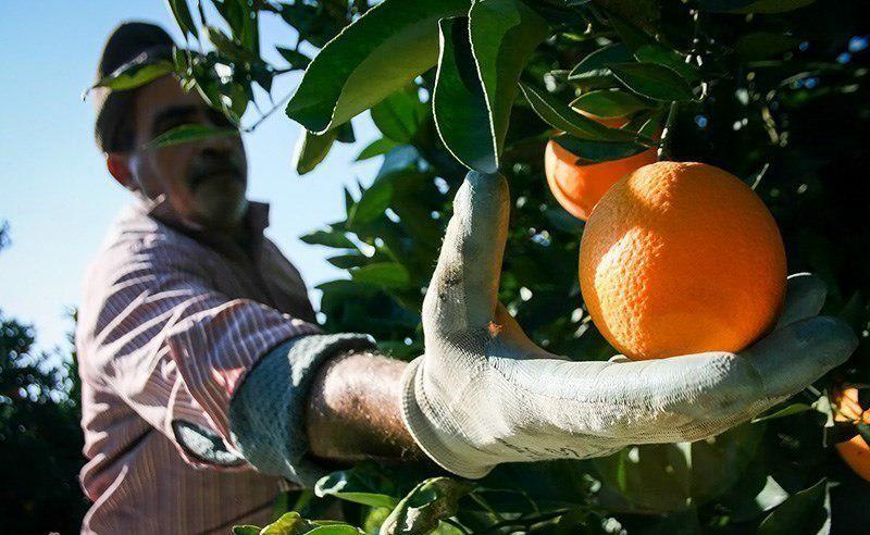 میزان تولیدات محصولات عمده باغی استان گیلان در سال 96 اعلام شد