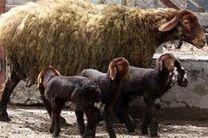 اصلاح نژاد هزار راس دام در حاجی آباد