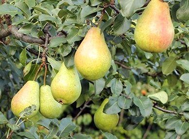 پیش بینی برداشت 2300 تن گلابی از باغات شهرستان خمینی شهر