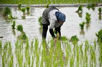 درآمد 750 میلیاردی با آبیاری تناوبی برنج