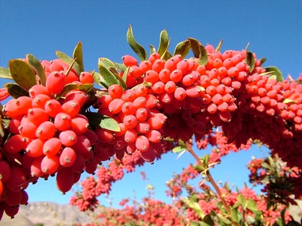 جشنواره یاقوت سرخ کویر ویژه باغداران زرشک