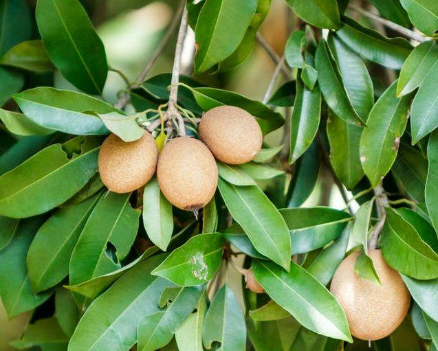 میناب نخستین مقام سطح زیر کشت میوه چیکو در کشور