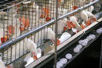 قیمت مرغ و تخم مرغ به زودی در گیلان کاهش پیدا میکند /گیلان بزرگترین مرکز تولید مرغ مصرفی کشور است
