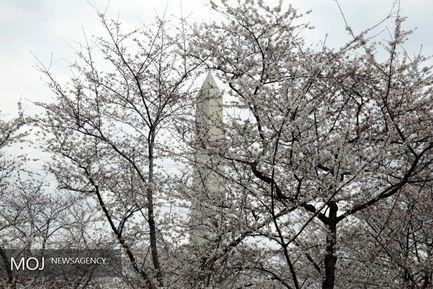 شکوفه های باغ گیلاس