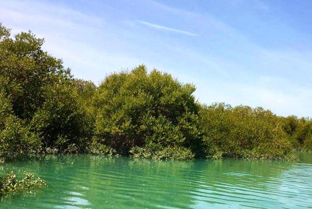 کاشت گونه های مانگرو در سواحل خلیج فارس آغاز شد