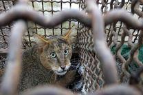 رهاسازی یک قلاده گربه جنگلی در مناطق جنگلی رشت
