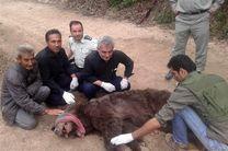 خرس قهوهای صالحآباد به پناهگاه حیات وحش سمسکنده ساری منتقل شد