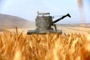 کاهش 50 درصدی کشت گندم در استان اصفهان