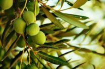 پیش بینی تولید 2 هزار تن زیتون از باغات دالاهو