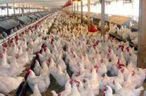 روزانه 100 تن مرغ در همدان مصرف می شود