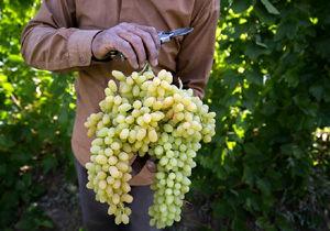 پیشتازی هرمزگان در تولید انگور ارگانیکِ کشور