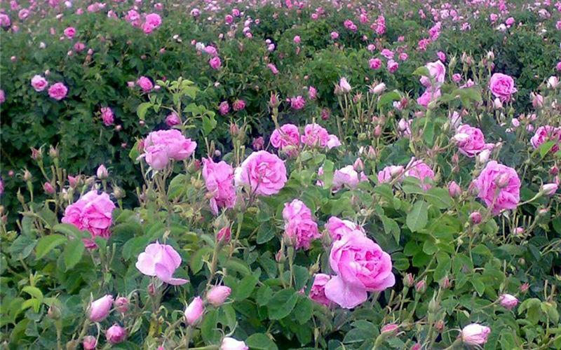 پیش بینی  برداشت 280 تن گل محمدی در فریدن