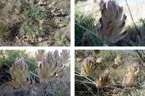 کشف یک گونه گیاهی جدید در کشور