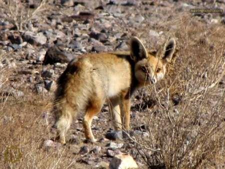ثبت نخستین رکورد از پراکندگی شاه روباه در لرستان