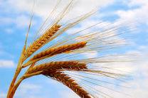 خرید تضمینی گندم از مرز ۱۰ میلیون تن گذشت