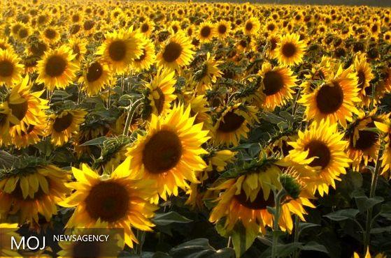 راز چرخش گل های آفتابگردان به سمت خورشید چیست