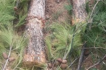 دادستان خرمآباد به پرونده قطع درختان هنرستان ولیعصر ورود کرد
