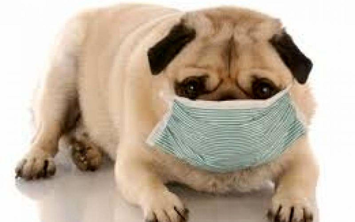 سگ ها؛  ابزار انتشار ویروس جدید کرونا