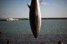 افزایش ۳۰ درصدی صید ماهی در آبهای دور